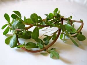 kulfa purslane portulaca ke gun fayde upyog in hindi, health benefits in hindi kulfa ki bhaji in english kulfa ki bhaji in telugu kulfa ki bhaji in hindi kulfa ki bhaji recipe kulfa bhaji in telugu kulfa ki bhaji gosht kulfa in telugu kulfa ki bhaji benefits kulfa leaves in english kulfa saag english name kulfa leaves benefits kulfa in hindi