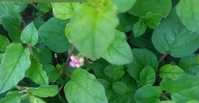 पुनर्नवा के 26 गुणकारी उपयोग punernava punarnava ke upyog gun fayde labh nuskhe plant herb
