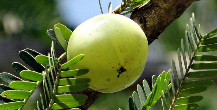 आंवला - बेहतरीन रोग प्रतिरोधक फल