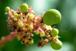 फलों का राजा आम कच्चे आम पत्ते गुठली फूल के गुण लाभ फायदे उपयोग kache aam ke patte phool fool guthli ke gun labh fayde upyog
